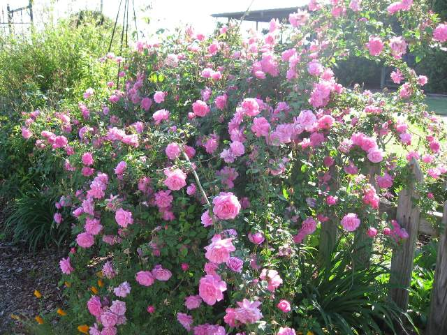 Rose 'Old Blush Climbing'-804