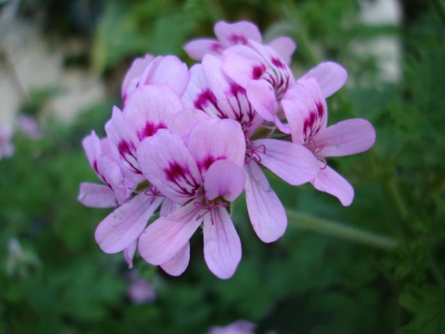Scented Geranium 'Old Fashioned Rose'-742