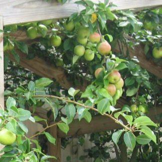 "Pear ""Orient'-0"
