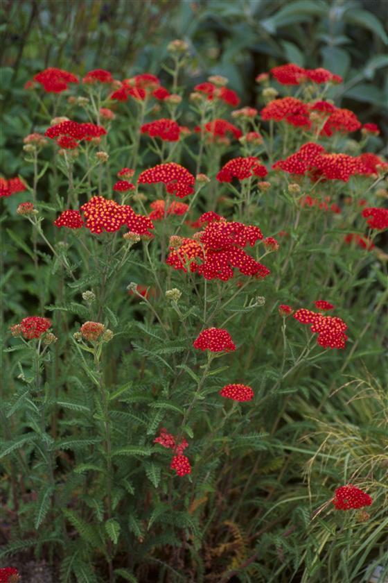 Achillea millefolium 'Paprika'-0