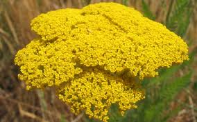 "Yarrow ""Parker's Gold'-676"