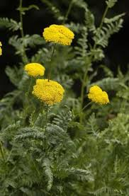 "Yarrow ""Parker's Gold'-0"