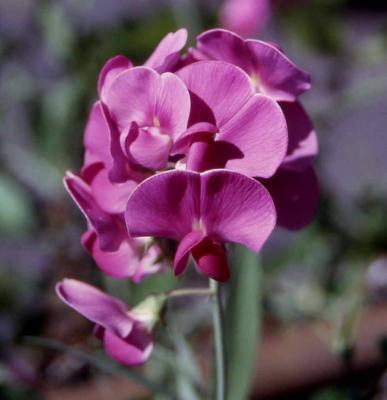 Lathyrus Latifolius Perennial Sweet Pea-365