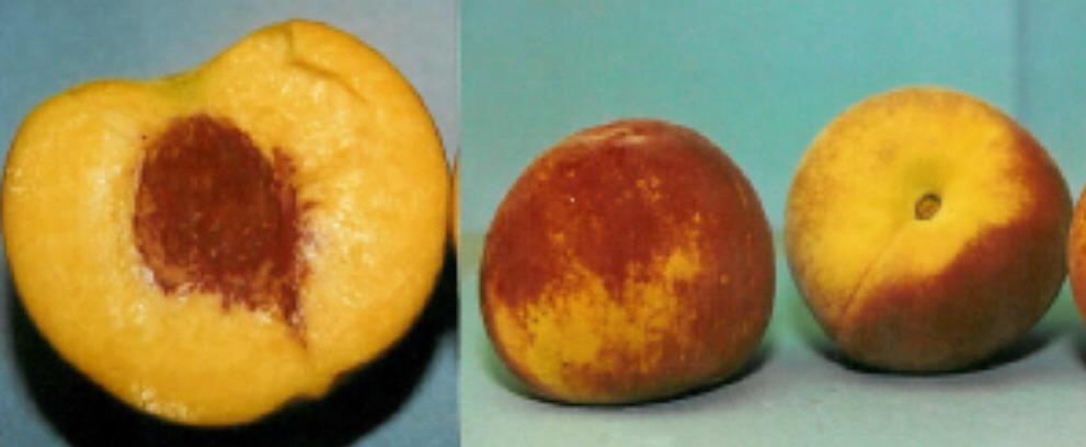 Peach 'Contender'-1383
