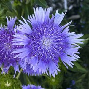 Stokes Aster 'Peachies Pick'-0