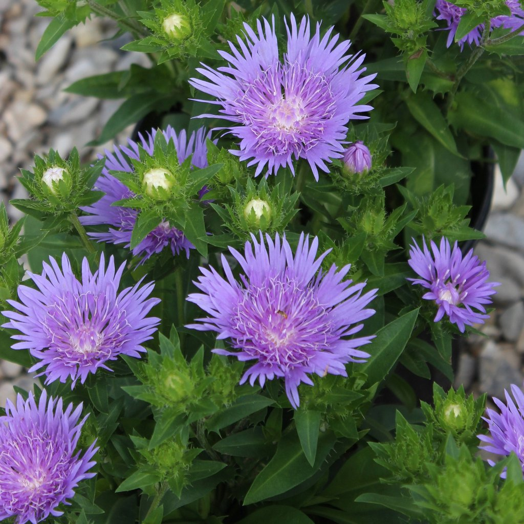 Stokes Aster 'Peachies Pick'-1652