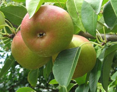 Pear 'Ayers'-1361