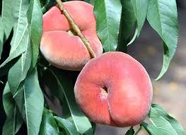 Peach 'Saturn Peento'-1388