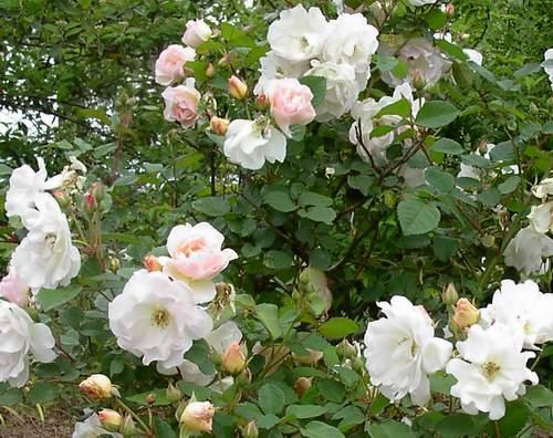 Rose 'Penelope'-827