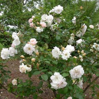 Rose 'Penelope'-0