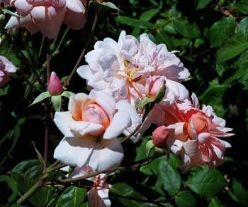 Rose 'Perle de'Or'-0