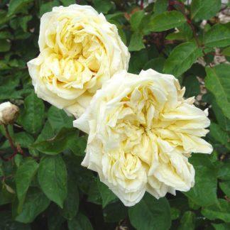 Rose 'Perle des Jardins Cl.-0