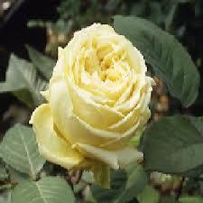 Rose 'Perle des Jardins Cl.-960