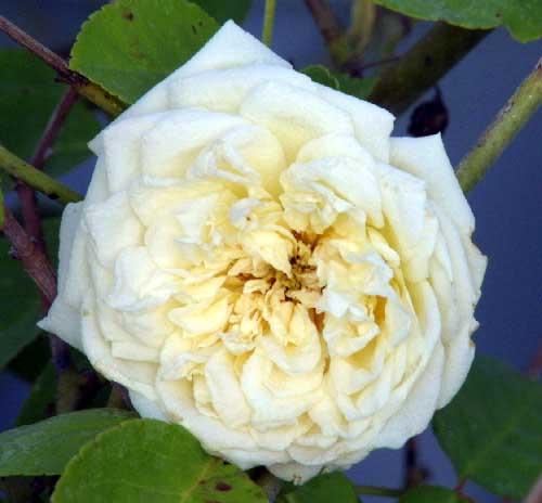 Rose 'Perle des Jardins Cl.-962