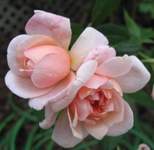 Rose 'Perle de'Or'-899