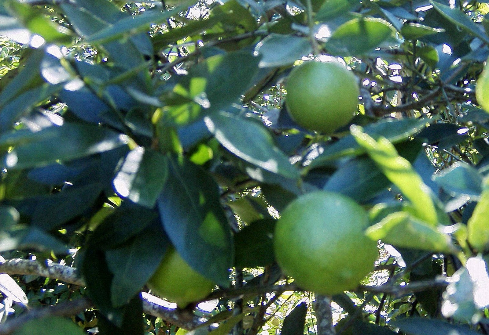 Persian Lime-1286
