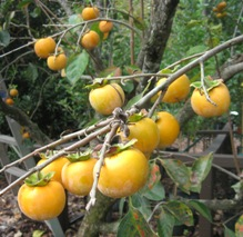 Persimmon 'Great Wall'-1349