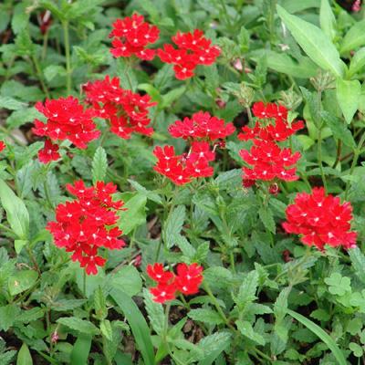Verbena peruniana 'Peruvian Red'-0