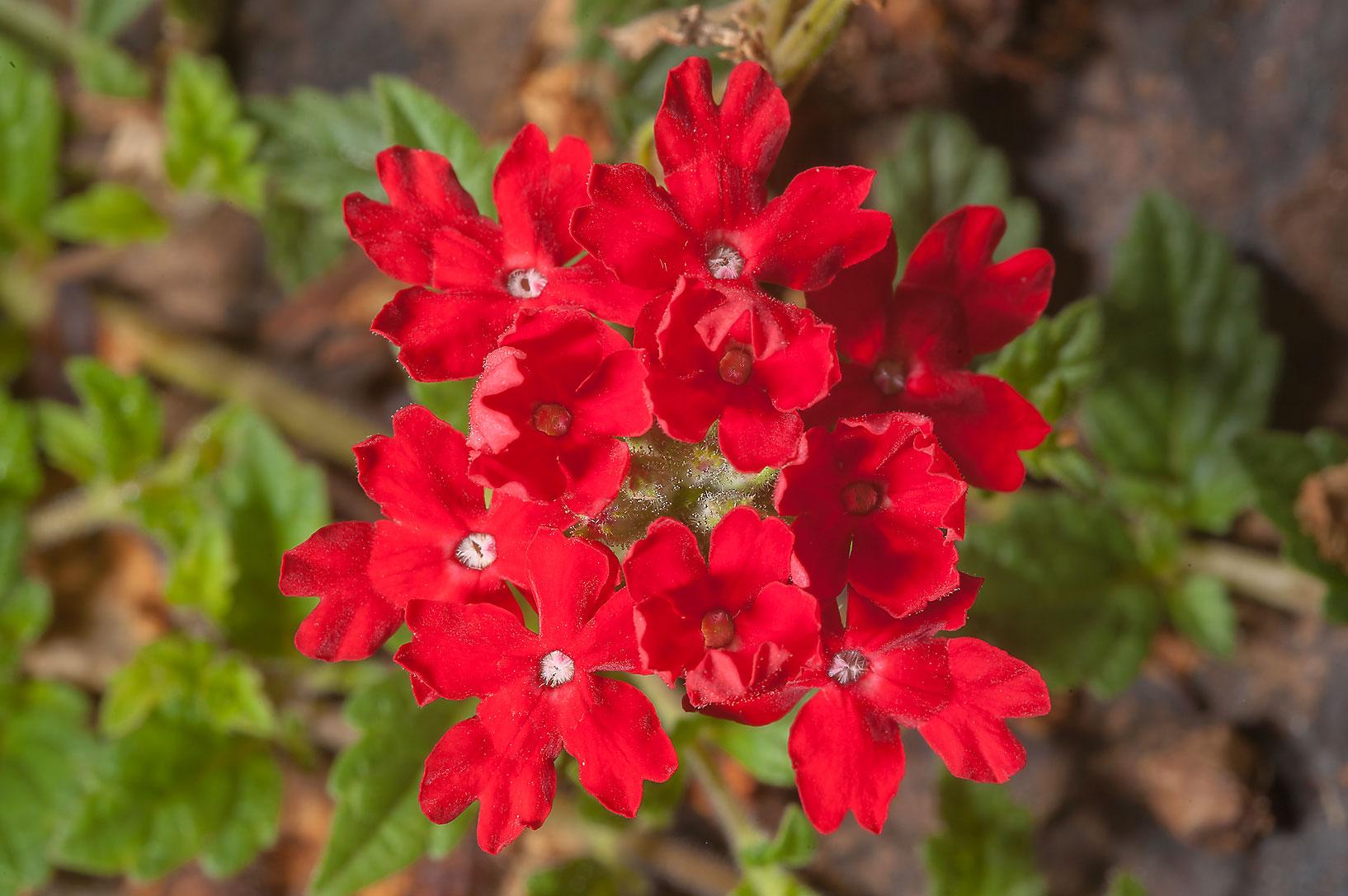 Verbena peruniana 'Peruvian Red'-273