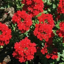 Verbena peruniana 'Peruvian Red'-274