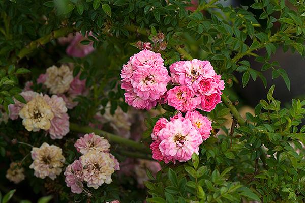 Rose 'Petite Pink Scotch'-853