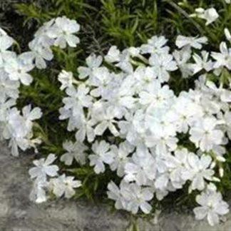 Phlox subulata 'White'-0