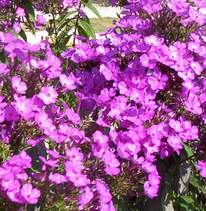 Phlox 'Common Purple'-39