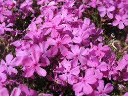 Phlox subulata 'Pink'-0