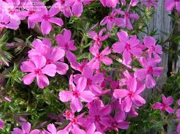 Phlox subulata 'Red'-0