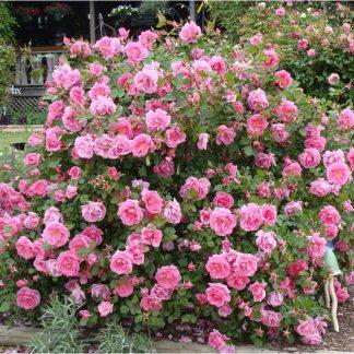 Rose 'Katy Road Pink'-0