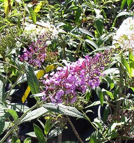 Butterfly Bush 'Pink Delight'-1709