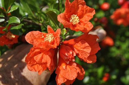 Pomegranate 'Russian'-1399