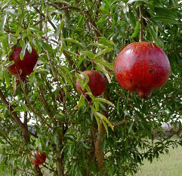 Pomegranate 'Wonderful'-0