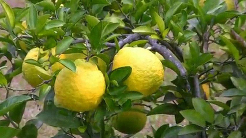 Ponderosa Lemon-1290