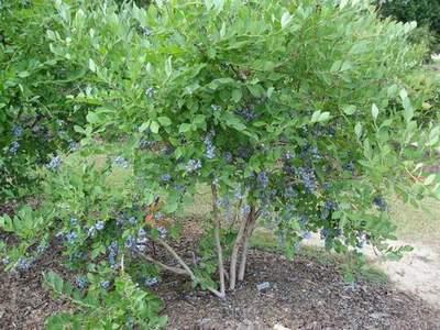 Blueberry 'Powderblue'-0