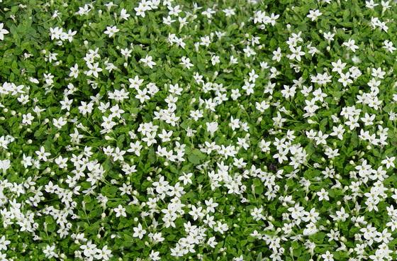 Pratia pedunculata - White Star Creeper-195