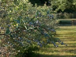 Blueberry 'Premier'-1218