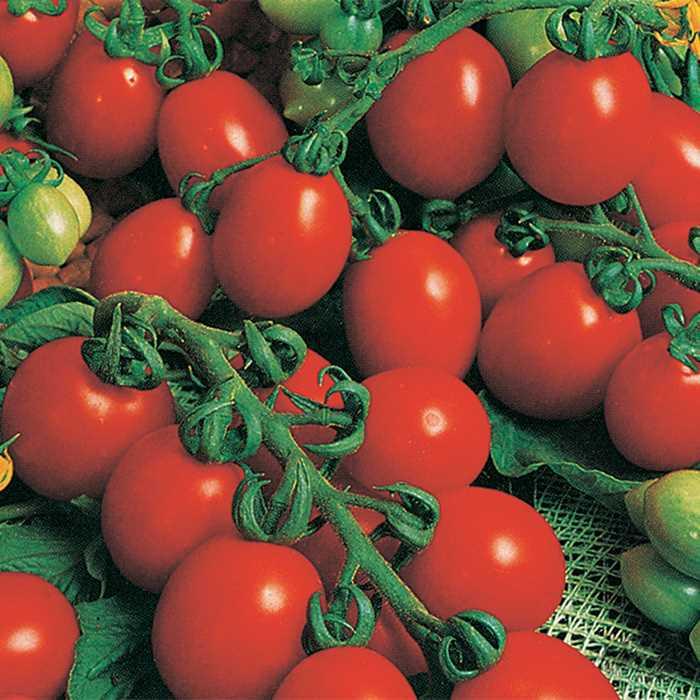 Tomato 'Principe Borghese'-0