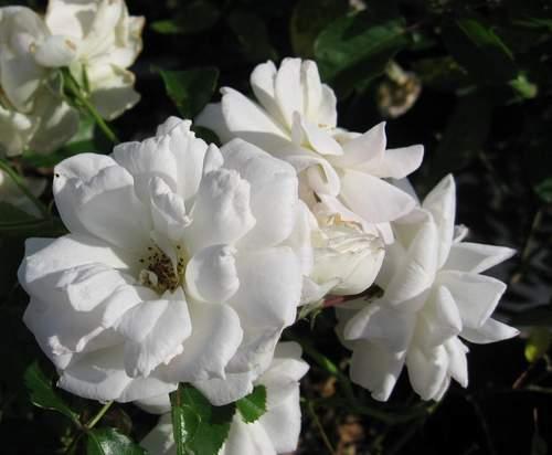 Rose 'Prosperity'-830