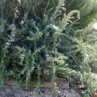 Rosemary 'Prostrate'-0