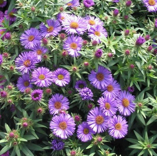 "Aster novae-angliae ""Purple Dome'-308"