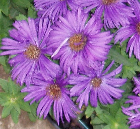 "Aster novae-angliae ""Purple Dome'-0"