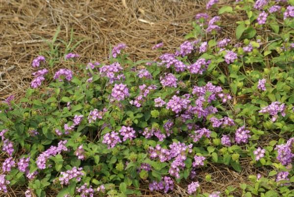 Lantana montevindensis 'Trailing Purple' -0