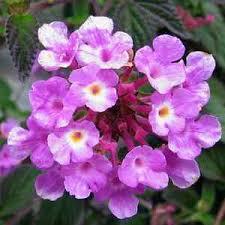 Lantana montevindensis 'Trailing Purple' -359