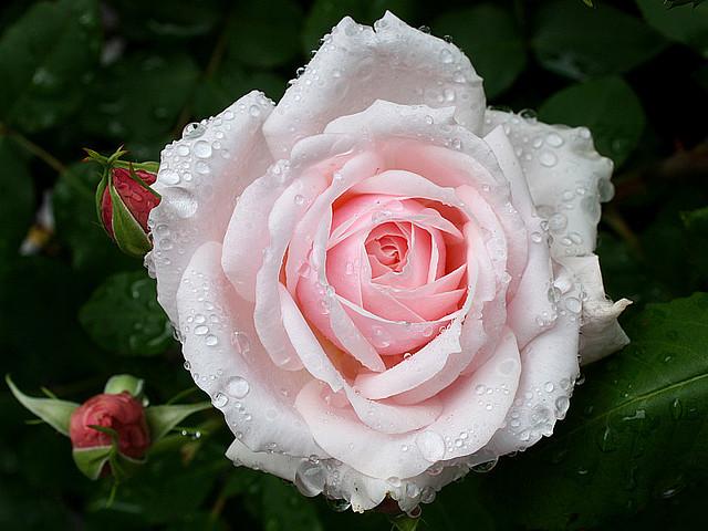 Rose 'Quietness'-854