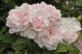 Rose 'Quietness'-0