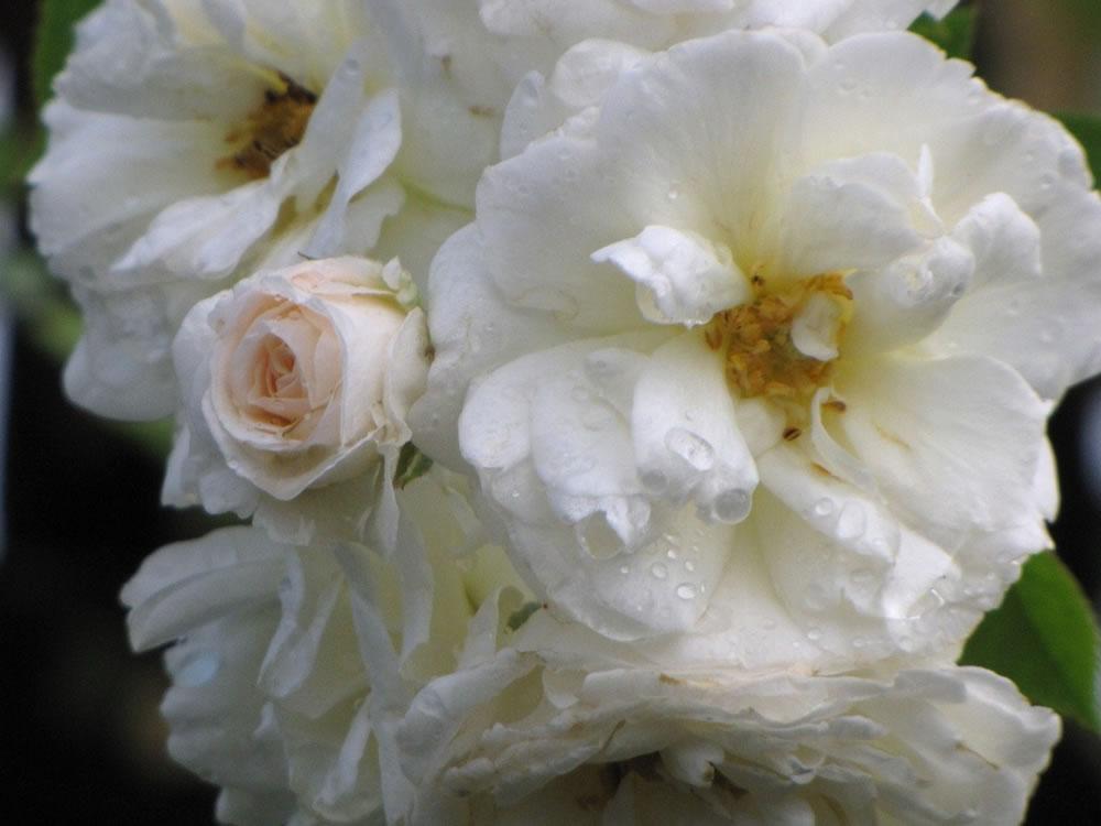 Rose 'Prosperity'-831
