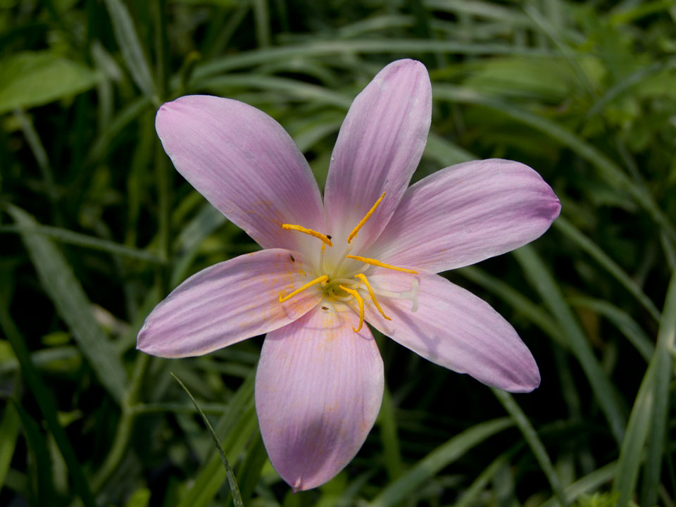 Zephyranthes Robusta - Rain Lily-197