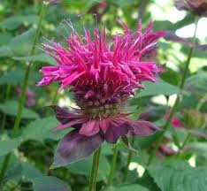 Bee Balm ' Raspberry Wine'-705