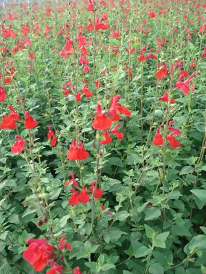 Salvia greggii 'Red'-227
